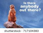 A Curious Meerkat Or Suricate ...