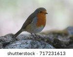 beautiful robin. wild fauna ... | Shutterstock . vector #717231613