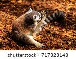 ing tailed lemur  lemur catta ... | Shutterstock . vector #717323143
