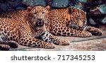 Jaguar. Jaguar Taking Rest....