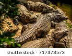 group of nile crocodiles that... | Shutterstock . vector #717373573