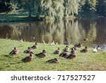 flock of wild ducks on... | Shutterstock . vector #717527527