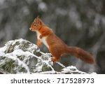 vigilant red squirrel in forest ... | Shutterstock . vector #717528973