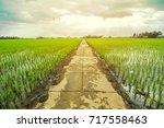 rice field  | Shutterstock . vector #717558463