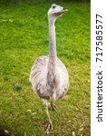 Small photo of Cute white gray female of Greater Rhea from South America (also called American Rhea or Nandu - Latin: Rhea Americana) relative to other flightless runner birds, such as ostrich and Australian Emu