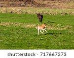 icelandic foal horse in spring... | Shutterstock . vector #717667273
