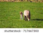 icelandic foal horse in spring... | Shutterstock . vector #717667303