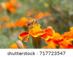 tagetes erecta and bees