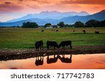 black cows reflecting in a... | Shutterstock . vector #717742783
