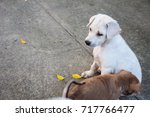 little baby white dog looking... | Shutterstock . vector #717766477