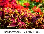 Coleus Plants With Colorful...