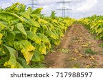 Small photo of Tobacco big leaf plants on tobacco plantation field background. Big tobacco leaves before harvest on tobacco plantation