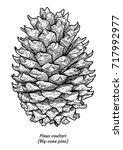 big cone pine illustration ... | Shutterstock .eps vector #717992977