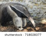 a giant anteater walking in... | Shutterstock . vector #718028377