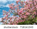 pink ceiba speciosa flowers... | Shutterstock . vector #718161343