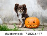 brown chihuahua dog posing with ... | Shutterstock . vector #718216447