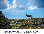 Woodland caribou, Jacques-Cartier mountain, Quebec, Canada