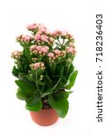 beautiful and bright  kalanchoe ... | Shutterstock . vector #718236403