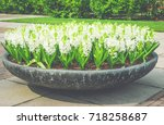 decorative white hyacinth... | Shutterstock . vector #718258687