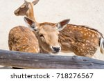 A Pair Of Deer Close Up At The...
