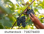 Small photo of man hand harvesting ripe delicious grape bunch in the vineyard autumn crop concept