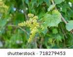 young inflorescence of grapes... | Shutterstock . vector #718279453