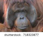 full face of orangutans | Shutterstock . vector #718323877