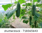 cucumber harvest in a small... | Shutterstock . vector #718365643