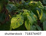 Small photo of African basil or wild basil, herb ingredient for cooking