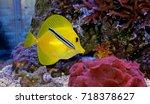 zebrasoma yellow tang cleaned... | Shutterstock . vector #718378627