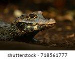 african dwarf crocodile  broad... | Shutterstock . vector #718561777
