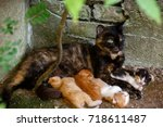 cat nursing kittens. feral cat... | Shutterstock . vector #718611487