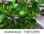 green lime tree sour  lemon  in ...   Shutterstock . vector #718712593