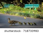 Little Duckling Crossing The...