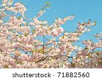 Saktura Japanese cherry tree in full blossom - stock photo