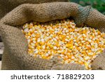 raw corn seed in sack at local... | Shutterstock . vector #718829203
