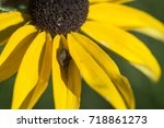 Small photo of Acacesia Hamata Spider in Black Eyed Susan Flower
