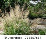 Small photo of Sporobolus wrightii - Giant Sacaton - Ornamental Grass