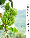 green bananas on banana tree. | Shutterstock . vector #718909153