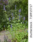 Small photo of Agastache 'Black Adder' in a garden border