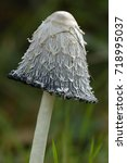 Small photo of Shaggy Ink Cap - Coprinus comatus Cap starting to Liquify