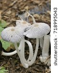 Small photo of Hare'sfoot Ink-Cap Fungus - Coprinopsis lagopus