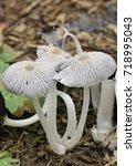 Small photo of Hare'sfoot Ink-Cap Fungus - Coprinopsis lagopus