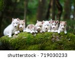 Stock photo troop of husky puppies in a forest 719030233