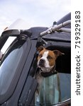 Small photo of The fighting bulldog dog looks smart with an appraising look from the driver's window of a professional big rig semi truck appraising the potential danger or friendliness of approaching people