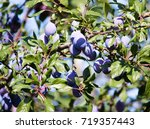 Blue Plum On Tree Branches In...