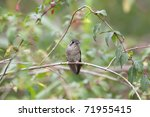 Small photo of Speckled Hummingbird (Adelomyia melanogenys maculata)
