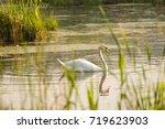 swan  lake  summer  reeds ... | Shutterstock . vector #719623903