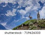 Alpine Ibex  Capra Ibex . In...