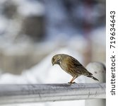Small photo of Gran Paradiso National Park, Italy - January 2015: Alpine accentor (prunella collaris) perched on the railing of a dam.